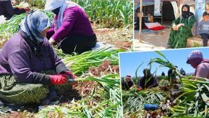 Mevsimlik işçilerin mesaisi başladı