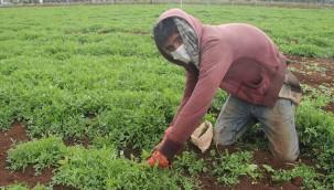 Urfa'dan işçiler sebze toplamaya gidiyor