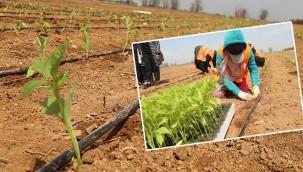 Yerli tohumdan biber yetiştirilecek