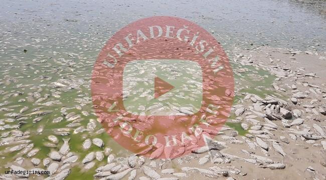 Kuraklık nedeni ile binlerce balık telef oldu