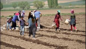 Urfalı işçiler Ramazan'da da tarlalarda çalışıyor