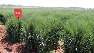 Yerli tohumlar rekolteyi artıracak
