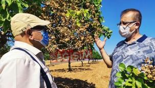 Fıstık ağaçları hastalık tehlikesi yaşıyor