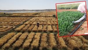 Kuraklığa dayanıklı buğday üretim çalışmaları devam ediyor