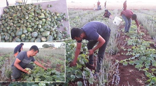 Viranşehir'de şelengo hasadı başladı