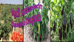 Yerli sebzelerin hasadı başladı
